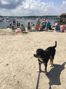 Swissy on Dewey Beach Bayside